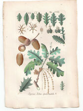 1791 Quercus Robur, Hand Coloured print from Schkuhr's Manual of Botany