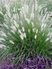 Lampenputzergras Pennisetum alopecuroides Compressum Sommer und Herbstblüher
