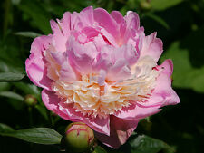 Peony/paeonia plant 'Sorbet' 3/5 eyes bare root Shipping Oct. 2017
