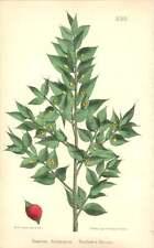 1863 Butcher's Broom  ~ Ruscus aculeatus Botanical Print
