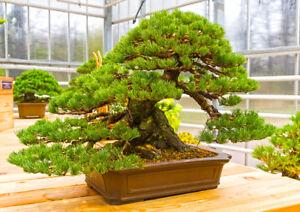 So kann ein Schmalblatt-Kiefer als Bonsai aussehen - Winterharter Gartenbonsai !