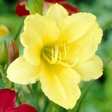 20 STELLA DE ORO DAYLILY SEEDS - light yellow flower color