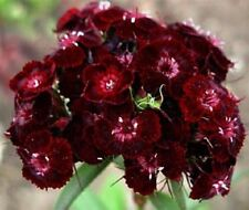 30+ SWEET WILLIAM DIANTHUS BARBATUS NIGRESCENS CHOCOLATE MAROON FLOWER SEEDS
