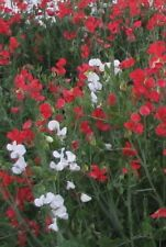 50 X SWEET PEA SEEDS - MIXED COLOURS RED AND WHITE.