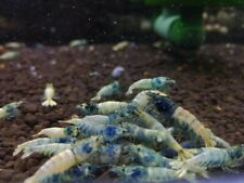 10+1 Blue Bolts Grade (A-S) Freshwater Shrimps. Live Guarantees by ShrimpRack