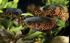 """Red Tiger Oscar (1.5-2"""") Live Fish Live guarantee HEALTHY FREE SHIPPING FAST!!!!"""