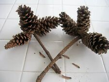 TEXAS PINE CONES ON 2 BRANCHES,VERY SOLID,6 PINE CONES TOTAL,NOT COMPLETELY OPEN