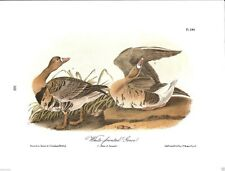 White-Fronted Goose Vintage Bird Print by John James Audubon