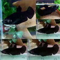 Black Halfmoon Plakat Female-IMPORT LIVE BETTA FISH FROM THAILAND