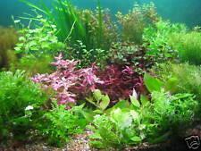 25 Live Aquarium Aquatic Plants Tropical Fish Tank SUPERB QUALITY & VALUE