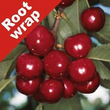 Cherry Tree Summer Sun Bare Root Heaving Cropping Tasty Fruiting Outdoor Plant