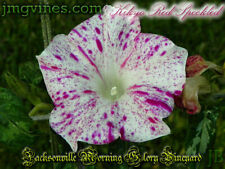 Kikyo Red Speckled Japanese Morning Glory 6 Seeds