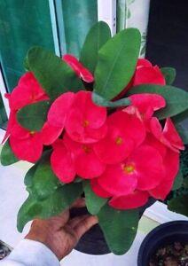 "Crown of Thorns, Euphorbia Milii, Thai Hybrid Succulent Plant ""Crown of Rose"""
