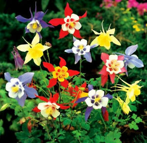 AQUILEGIA 'McKana Giants Mix'' 120+ seeds Columbine Grannys Bonnet flower garden