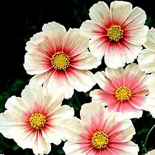 "Cosmos bipinnatus ""Daydream"" Pale Pink x 50 seeds. Very easy to grow."