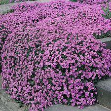 Aubrietia - Large Flowered Hybrids - 500 Seeds