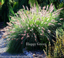 FEATHERTOP GRASS Ornamental - 50 seeds  - Pennisetum villosum - ANNUAL