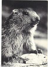 La marmotte (H5407)