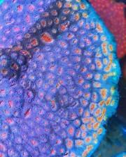 Tropical Skittles Chalice Acan Yuma Lps Tankraised Live Coral Aquarium Reef Tank