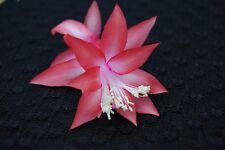Christmas Cactus/Schlumbergera Plant~~You Choose What Variety You Want~~Group 4