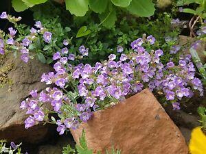 Chaenorhinum Origanifolium 'Blue Dream' -Rockery Perennial Plant in 9cm Pot