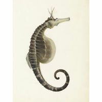 Gould Sea Horse Book Fish Illustration Large Wall Art Print 18X24 In
