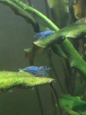 7 Freshwater Blue Dream Velvet Shrimps - Juveniles & adults