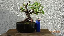 Bonsai Outdoor Moor-Birke Betula pubescens vom Schalenrand ca.15 cm