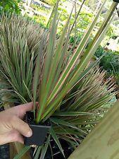 """DRACEANA - MARGINATA PALM - BI-COLOR - LIVE PLANT - 3"""" POTS - LARGE - 1 PLANT"""