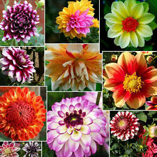 10PC  DINNERPLATE DAHLIA MIX FLOWER SEEDS  EARLY BLOOMING BICOLORS SEEDS&