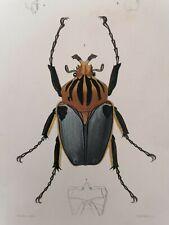 Orbigny Gravure Sur Acier XIXème Coléoptères Goliath Vaillant pinx 1849