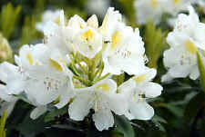 Rhododendron catawbiense Alba WHITE CATAWBA RHODODENDRON Seeds!