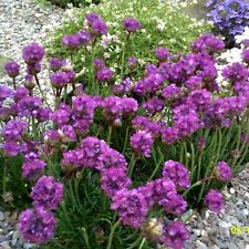 4 X 9CM POTS PLANTS ARMERIA MARITMA SEA THRIFT SEA BRIGHT PINK FLOWERS PERENNIAL