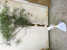 ITEM#REG.  WHITE PINE TREE 3 FOOT STARTER TREE SEEDLING 36 INCH