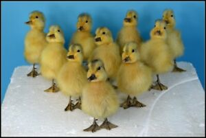 Taxidermy black duckling \u00d710