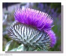 Fresh Scottish Thistle 30 Seeds from Brooklyn's Botanical Garden of Rarest Type!