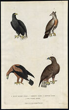 Antique Print-AMERICAN WHITE TAILED EAGLE-GOLDEN-BIRD OF PREY-Martyn-1785
