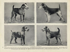 LAKELAND TERRIER FOUR NAMED CHAMPION DOGS OLD ORIGINAL DOG PRINT FROM 1934