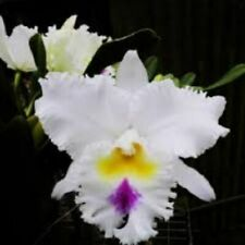 (131a3) Rlc Lion Hope Fragrant mature size