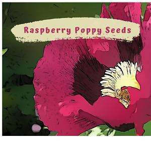 Ravishing Raspberry Pink Poppy Flower Seeds -  100 plus seeds in each pack