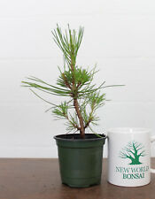 Bonsai Tree, Japanese Black Pine 'Mikawa', Pinus thunbergii, Live Bonsai Tree