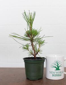 Bonsai Tree, Japanese Black Pine, Starter tree, Live Bonsai Tree