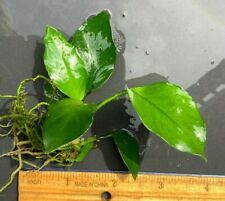 Live Aquatic Plant | Anubias nana | Plant/Stem