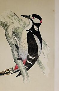 c1875 ANTIQUE PRINT GREAT SPOTTED WOODPECKER HAND COLOURED British Birds Morris