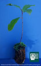 RHAMNUS FRANGULA alvéole 1 Plante 1 plante Argousier