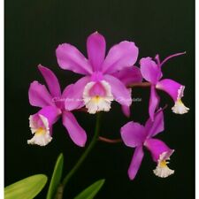 Standard Cattleya - Cattleya harrisoniae 'Homestead' x harrisoniae - Lavender