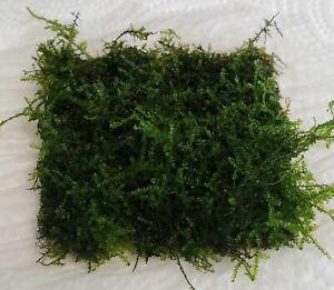 Java Moss Mat 3x3 inch