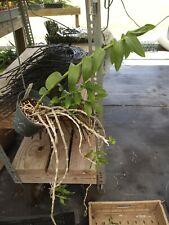 Dendrobium Anosmum #2 Bs Orchid Plant noid