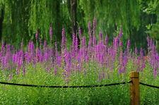 Lila Weiderich - Lythrum Blutweiderich -appx 10,000 Samen - Wildblumen Staude