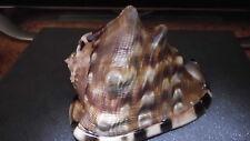 HUGE/GIANT XXL > King Helmet Cassis NR 3 (Cassidae) Tube Pink >> Top Quality